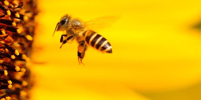 Biene im Flug, © Hans Benn / pixabay